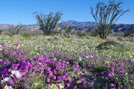 anza borrego super bloom poppies verbena and lilies oh my deluge leads to southwestern