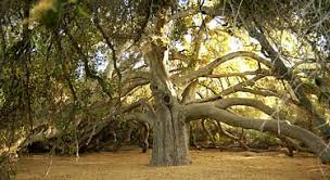pechanga band of luseno indians the great oak