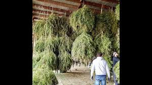 smoking weed in backyard ommp big buds legal weed oregon ganja backyard 24 plants outdoor