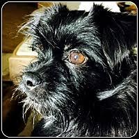 affenpinscher brussels griffon rescue little rock ar pet adoption american brussels griffon rescue