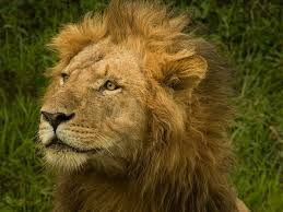 imagenes de leones salvajes gratis pin de miguel esteban en mi leoncita y yo pinterest fotografía