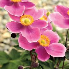 anemone plant anemone x hybrid lucky charm pink windflower plants for sale