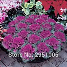 shop 30pcs original pack kale brassica oleracea ornamental