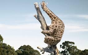 psbattle a giraffe up in a tree imgur