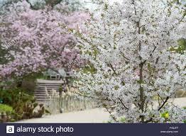 Flowering Cherry Shrub - prunus u0027the bride u0027 flowering cherry tree at rhs wlsley gardens