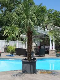 12 best real palm trees projects images on palm trees
