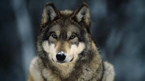 wolf hunting a signature away from becoming legal wemu