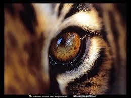 eye of the tiger makewaves