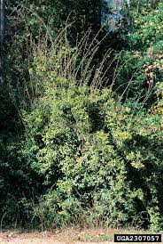 non native invasive plants nonnative invasive plants of southern forests a field guide for