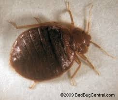 Bed Bugs In Mattress Go Back To Without Bringing Home Bedbugs Ny Daily News