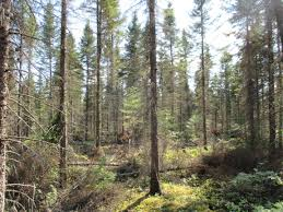 to grow trees kill them a primer on thinning the maine woods