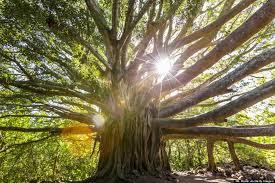 hawaiian trees trees in hawaii