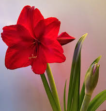 amaryllis flower growing and caring for amaryllis