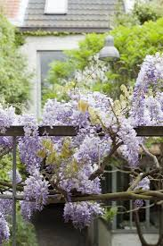 native plants of france plant of the week wisteria gardenista