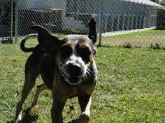 bluetick coonhound west virginia adopt mason on bluetick coonhound australian cattle dog and cattle