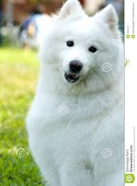 american eskimo dog vector american eskimo dog stock image image 5957141