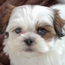 shi poo shih poo puppy for sale in boca raton south florida