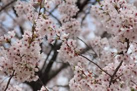 fun u0026 free daegu travel 2016 cherry blossom festivals in daegu