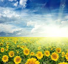 beautiful landscape of sunflowers stock photo picture and royalty
