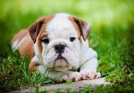 american eskimo dog for sale in kansas bulldog puppies for sale akc puppyfinder