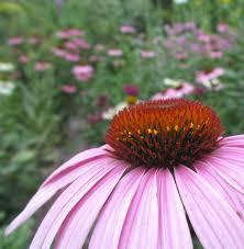 iowa native plants t h e d e e p m i d d l e the ultimate pollinator u0026 native