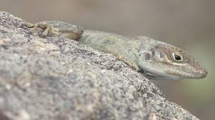 anole annals your source for the latest on anolis lizards