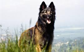 belgian shepherd x kelpie belgian malinois breed information
