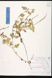 Florida Wetlands Map by Glandularia Maritima Species Page Isb Atlas Of Florida Plants