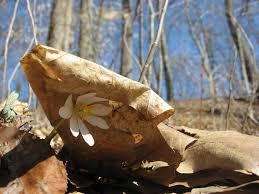 escape of the invasives top six invasive plant species in the invasive plants the sanguine root