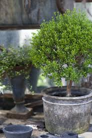 Rosemary Topiary 220 Best Topiary Images On Pinterest Topiaries Garden Ideas And