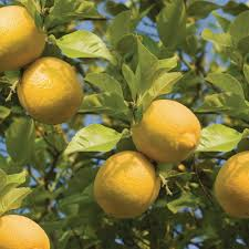 bloomsz meyer lemon tree 1 5 year old 08104 the home depot