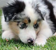 australian shepherd dog puppies new puppy care