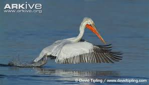 dalmatian pelican videos photos facts pelecanus crispus