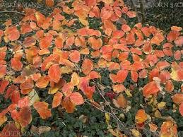 vernal witchhazel shrubs specialty tree type