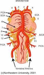 Brain Stem Anatomy Brainstem Structures Related To Dizziness And Balance