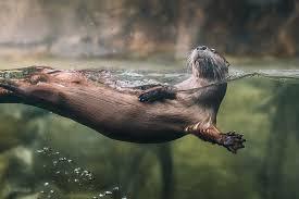South Carolina wild swimming images River otter south carolina aquarium jpg