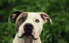 Dog Wallpapers Cool High Quality Wallpaper U0027s Collection American Pitbull Dog