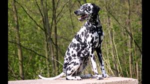 dalmatian dog video learning wizscience
