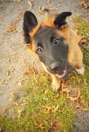 belgian shepherd rescue south africa 185 best images about dogs on pinterest beautiful dogs great