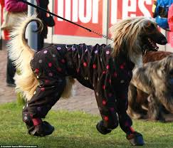 afghan hound jackets how crufts turned into a cat walk for dogs as canine u0027s don onesies