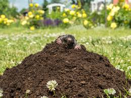 How To Get Rid Of Moles In The Backyard by To Undo The Damage Moles Have Done To Your Lawn