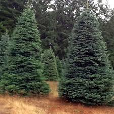 delancey trees