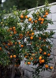 the about indoor citrus trees hint they belong outdoors
