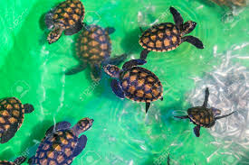 imagenes tortugas verdes bebé tortugas verdes en una pequeña piscina fotos retratos