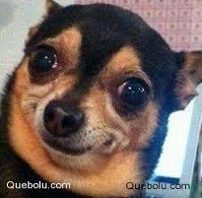 Memes De Chihuahua - chihuahua memes en quebolu
