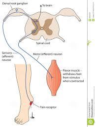 Pain Reflex Pathway Pain Reflex Stock Vector Image 58653581