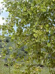 Cottonwood Tree Flowers - fremont cottonwood populus fremontii