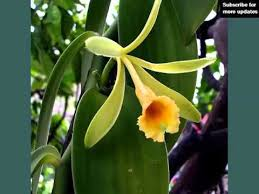 vanilla orchid vanilla orchid identify breed by picture flower vanilla orchid