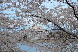 National Cherry Blossom Festival by File Cherry Blossom Festival Jefferson Memorial Virginia