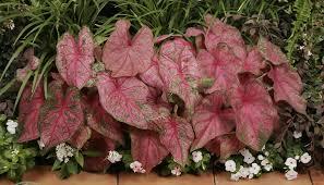 fannie munson caladium bulbs easy to plant and grow for a